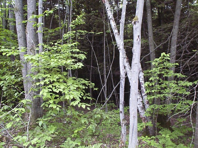unthinned woods